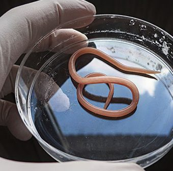 roundworm_in_petri_dish